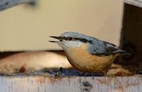 nuthatch in the bird house