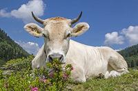 Cow on an alpine meadow in the Stubai Alps