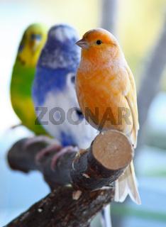 Kanarienvogel und Wellensittiche