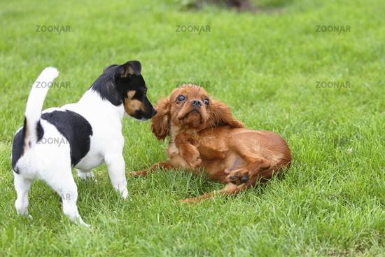 Jack Russell Terrier / Cavalier King Charles Spaniel