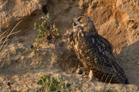 at sunset... Eurasian Eagle Owl *Bubo bubo* in warm light perched in the slope of a gravel pit