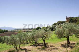 Felder mit Olivenbäumen rund um Palazzo Massaini, Nähe Montalcino, Toskana, Italien