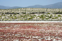 Flowering desert in the Chilean Atacama