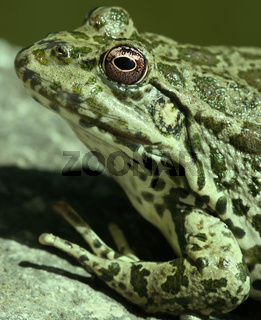 close-up of green frog