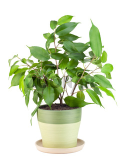 Sapling a favourite indoor plant 'Ficus'