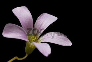 Kleeblüte - Oxalis Ttriangularis