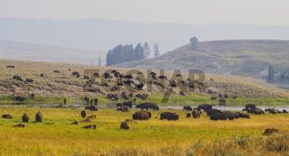 Amerikanischer Bison Büffel im Yellowstone National Park am grasen