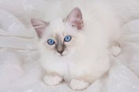 SACRED CAT OF BIRMA, BIRMAN CAT, BLUEPOINT, KITTEN,