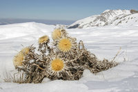 Carlina vulgaris in late winter