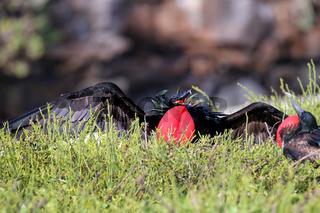 Male Great Frigatebird (Fregata minor) displaying