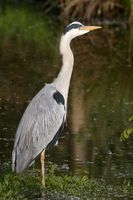 Grey Heron in the water 15