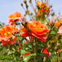 Rose Westerland - the rose Rose Westerland in summer