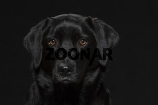 Portrait eines schwarzen Labradors