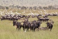 Wildebeests grazing in Serengeti National Park in Tanzania, East Africa.