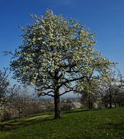 meadow orchard; spring; pear tree