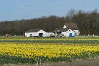 Blühendes Narzissenfeld in der Blumenzwiebelregion Bollenstreek
