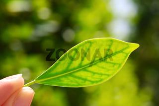 fresh green leaf in hand