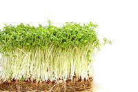 Gartenkresse - Lepidium sativum
