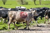Cow with the danish ecology quality stamp