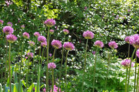 Zierlauch , lila Blumen im Garten - ornamental onion Allium, purple flower balls in garden