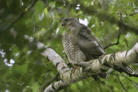 high up in the tree... Eurasian Sparrowhawk *Accipiter nisus*