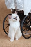 SACRED CAT OF BIRMA, BIRMAN CAT, KITTEN, SITTING UNDER DOLL´S CAR, BLUEPOINT,