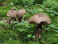 Dusky bolete, Porphyrellus porphyrosporus