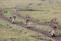 Three cheetahs in the Masai Mara