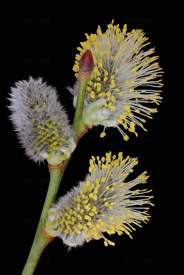 Pussy willow (Salix caprea)