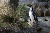 Posing penguin
