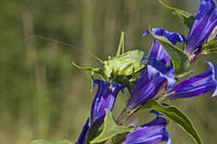 Gentiana asclepiadea with green grasshopper