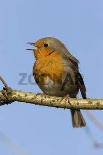 Rotkelchen, singendes, Erithacus rubecula, European robin, singing