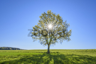 Oak tree with sun in spring