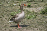 Gray goose on a meadow