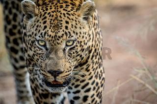Close up of a big male Leopard head.