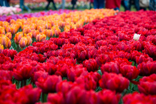Field of orange and red tulips