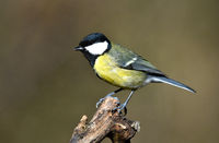 great tit; great titmouse;