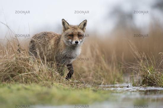 in marshland... Red Fox *Vulpes vulpes*