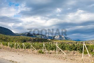 vineyard of winery farm Alushta near country road