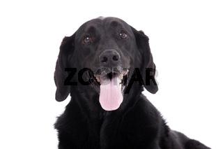 Lovely labrador