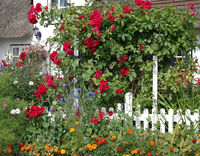 Red roses in the summer garden with house