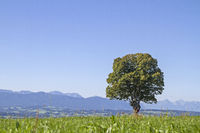Deciduous tree with mountains