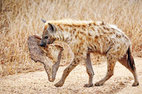 hyena with a piece of a carcass, south africa, wildlife