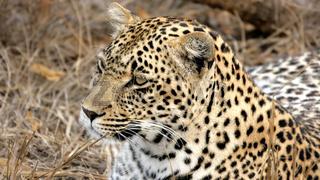 Portrait of a wild Leopard Sabi Sands