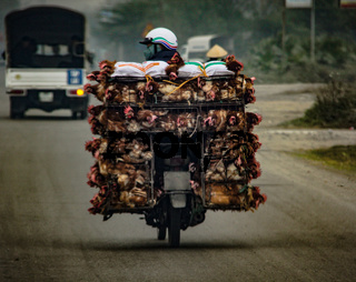 Transportation of alive chicken on a  motorbike in vietnam asia