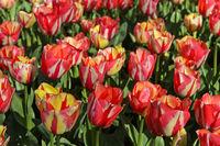 Lachsfarbene holländische Tulpen