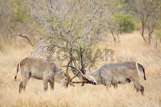 Wasserboecke beim kaempfen (Kobus ellipsiprymnus), Krueger National Park, Nationalpark, Suedafrika, Afrika, fighting Waterbucks, South Africa