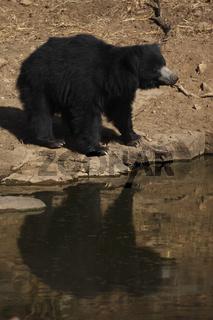 lippenbaer, melursus ursinus, indien, asien, sloth bear, melursus ursinus, india, asia