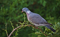 Common wood pigeon perched on a branch