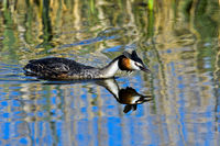 reat crested grebe (Podiceps cristatus) in attack position,